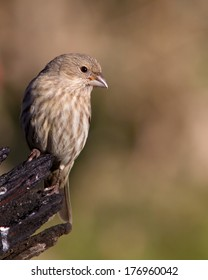 Adult female House Finch (Carpodacus mexicanus) perched near Johnson City (Blanco County), Texas in the Texas Hill Country