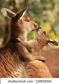 An adult female kangaroo hugging her joey.
