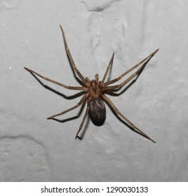 Adult female Loxosceles reclusa. (Brown recluse)