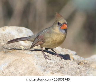 An adult female Northern Cardinal (Cardinalis cardinalis) perched on a rock in the Texas Hill Country