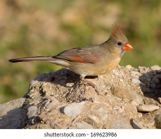 Adult female Northern Cardinal (Cardinalis cardinalis) moving across a rock in the Texas Hill Country