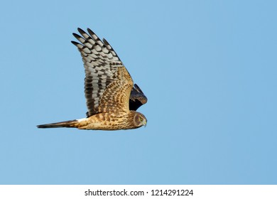 Adult female Northern Harrier (Circus hudsonius) in flight against a blue sky. Riverside Co., CA