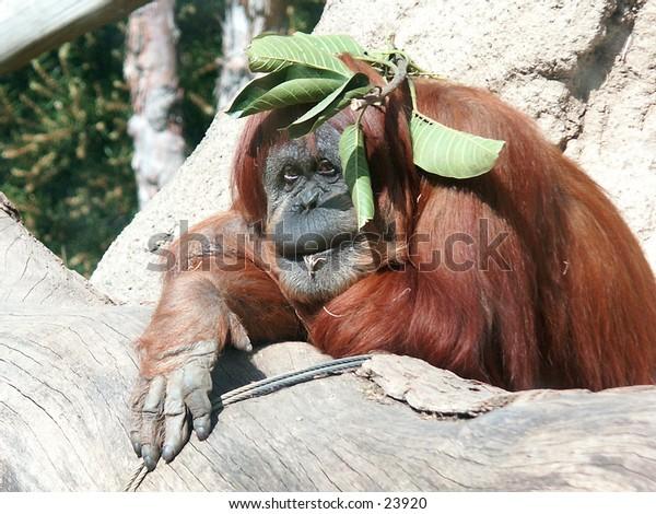Adult female Orangutan