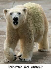 An adult female polar bear (ursus maritimus) walking