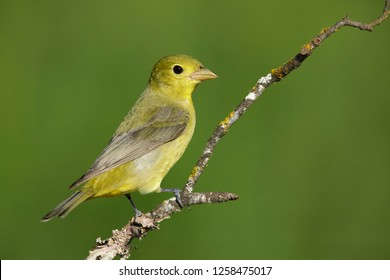 Adult female Scarlet Tanager (Piranga olivacea) perched on branch in Galveston Co., Texas.