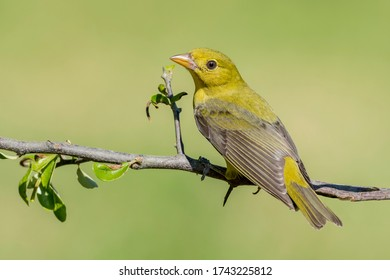 Adult female Scarlet Tanager (Piranga olivacea) in Galveston County, Texas, United States, during spring migration.