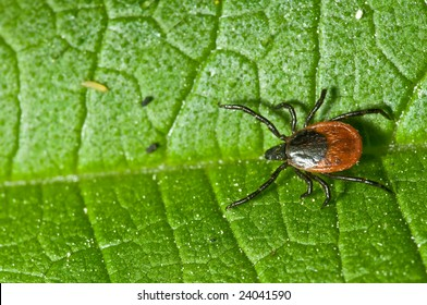 Adult female tick - Ixodes ricinus