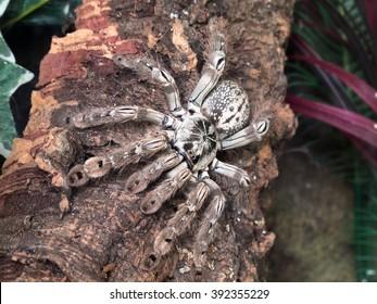 An adult female Togo Starburst (Heteroscodra maculata) tarantula resting on a piece of cork bark.