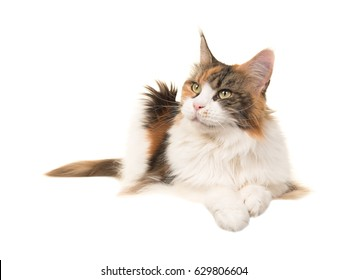 Adult female tortoiseshell main coon cat lying on the floor looking away isolated on a white background