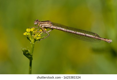 Adult female White-legged Damselfly (Platycnemis pennipes) resting on a yellow flower at the Kampina in the Netherlands.