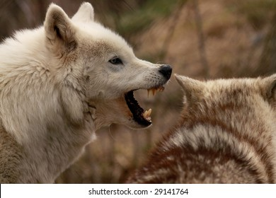 An adult female wolf (canis lupus) barks ferociously at another female