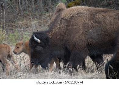 Adult Female Wood Bison and her calf  or Mountain Bison grazing along the Alaska Highway in Liard River Valley in northern British Columbia, Canada in May; (Bison bison athabascae)
