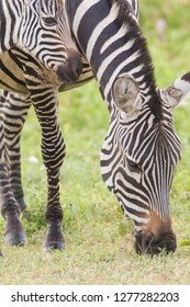 Adult female zebra grazes, head and frontal shot, Close-up, while her colt's head appear in upper corner, Ngorongoro Conservation Area, Tanzania