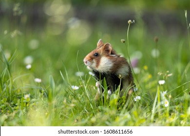 An adult field hamster in a green meadow with flowers.