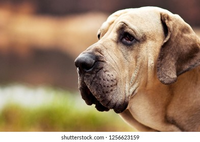 Adult Fila Brasileiro (Brazilian Mastiff) dog profile portrait, autumn scene