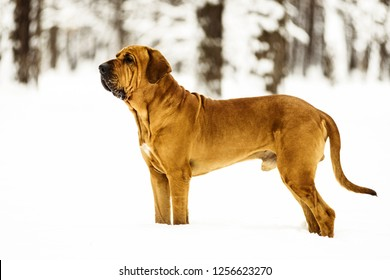 Adult Fila Brasileiro (Brazilian Mastiff) portrait in snow, winter scene