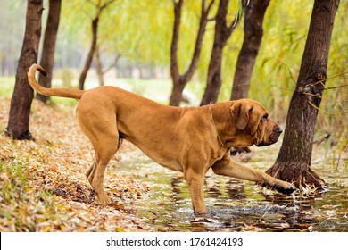 Adult Fila Brasileiro (Brazilian Mastiff) dog at pond touching water, autumn scene