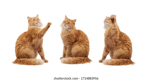 adult fluffy red cat sitting and raised its front paws up, imitation of holding any object, animal isolated on a white background, different poses