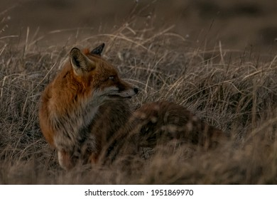 Adult fox in the wilderness - Shutterstock ID 1951869970