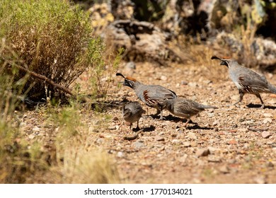 an adult Gambels quail and its offspring looking for food