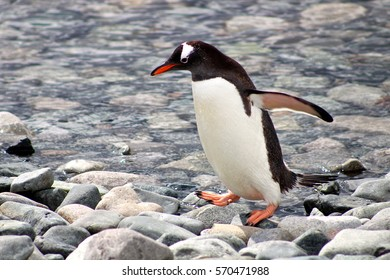 An adult Gentoo penguin hops across the rocks on a Danco Island beach in Antarctica.