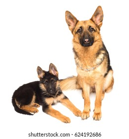 Adult german shepherd and puppy isolated on a white background. Mother and son. A family. Lovely dogs of black and red color