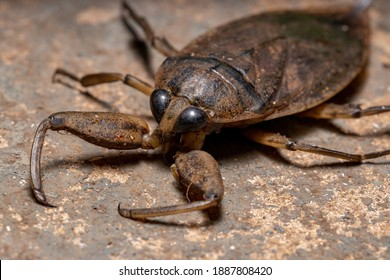 Adult Giant Water Bug of the Genus Lethocerus