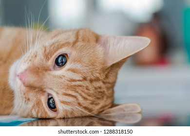Adult ginger cat, sedated on table at the veterinary clinic with ketamine