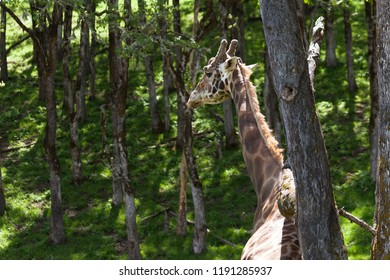 An adult giraffe scratches its back on an oak tree in the sunshine while looking over its shoulder.