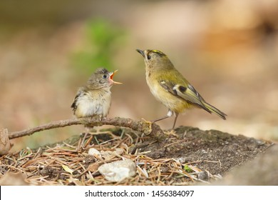 Adult goldcrest feeds a fledgling baby bird on the ground. The Goldcrest, Regulus regulus is Britains smallest bird