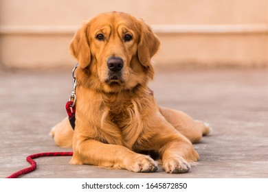 Adult Golden retriever dog with expressive eyes staring towards the camera