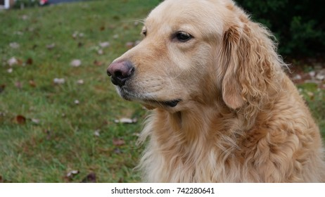 Adult golden retriever head and shoulders profile looking right to left
