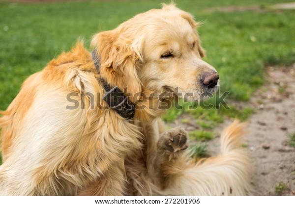 Adult Golden Retriever  Scratching fleas