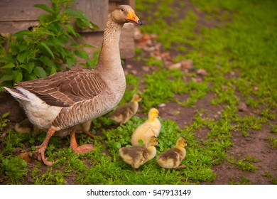 adult goose with goslings outdoors on a green background