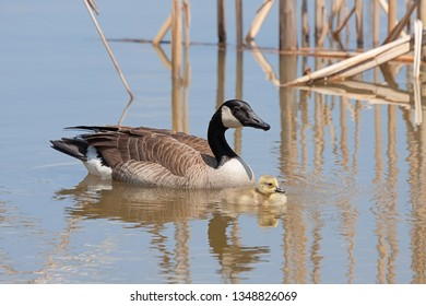 An adult goose swims cautiously behind its fluffy little gosling.  Water droplets fall from her beak creating ripples in the blue water.