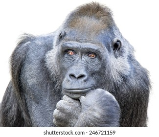 Adult gorilla, seemingly in deep thought, isolated on a white background