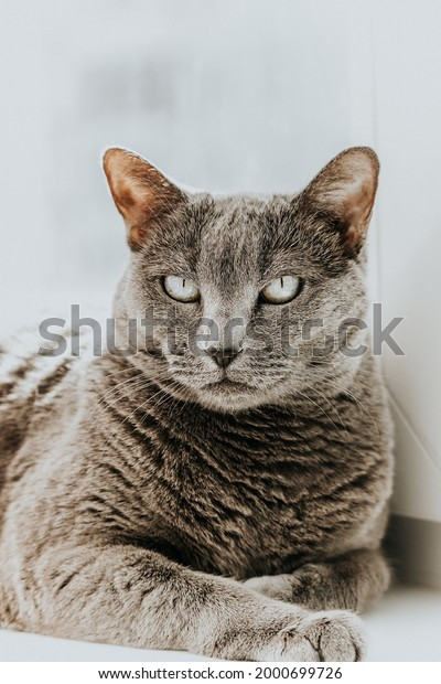 adult-gray-cat-resting-calmly-600w-20006
