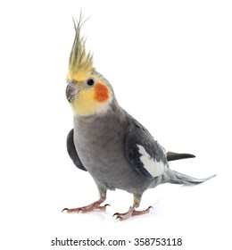 adult gray Cockatiel in front of white background