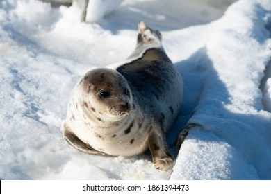 An adult gray harp seal lays on a fresh white bank of snow and ice. The large animal has light grey fur with dark harp shape spots on its skin. The sun is shining on the animal's soft gray fur.