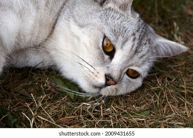adult gray Scottish breed cat lies on a grass, the animal is resting. High quality photo