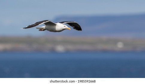 An adult Great Black-backed Gull (Larus marinus), the largest of all the Gulls.  Gliding menacingly along the clifftops at Duncansby Head, near John o' Groats  in the far north of Scotland.