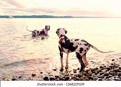 Adult great dane dog leading puppy out into the water to teach him to swim in golden sun from beach.