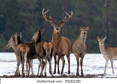 Adult Great Deer (Cervus Elaphus), Dedicated Depth Of Focus, Surrounded By Herd. Noble Red Deer, Standing In Belorussian Forest. Portrait Of Deer Stag,While Looking At You In Winter Time. Belarus