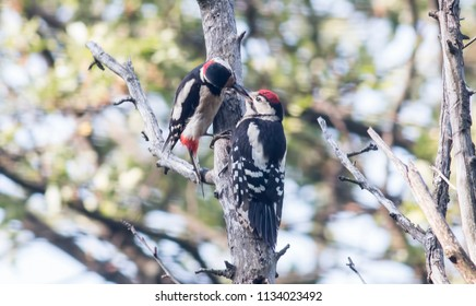 Adult Great spotted woodpecker feed young