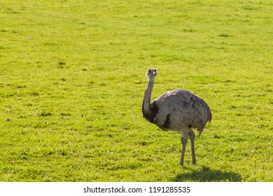 An adult greater rhea bird that is similar to an emu or an ostrich is standing on spring grass in the afternoon sunshine.