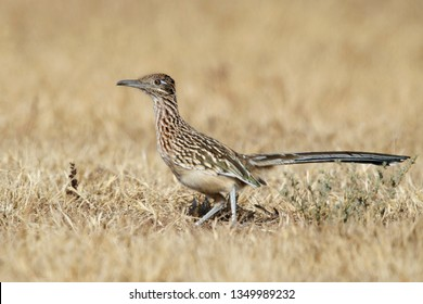 Adult Greater Roadrunner, Geococcyx californianus) standing on the ground in a arid field in Riverside County, California, USA.