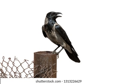 Adult grey crow perching on wire mesh fence. Hooded crow with gray and black plumage (Corvus cornix) on clear white background.