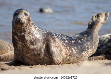Adult grey seal (Halichoerus grypus), Marine mammal wildlife classic pose portrait image. Gray seal close-up laying on the beach looking at camera. From the Horsey wild seal colony Norfolk UK.
