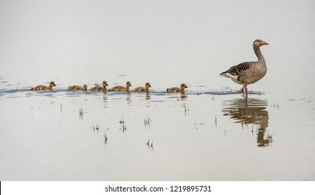 adult greylag goose on the lake followed from its squabs reflecting in the water - national park Neusiedlersee Seewinkel Burgenland Austria