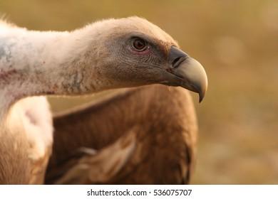 Adult Griffon vulture. Gyps fulvus